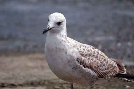 sea bird seagull. nature close-up Stock Photo - 3707627