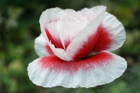 papaver: beautiful red and white papaver. closeup Stock Photo