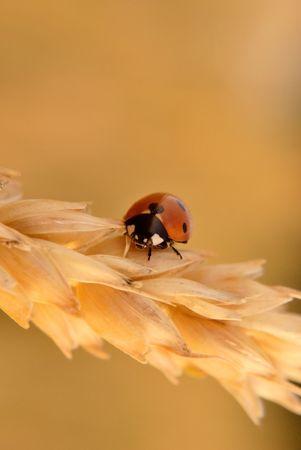 ladybug on gold nature seed. Closeup photo