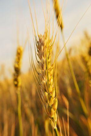 gold nature field seed. closeup photo