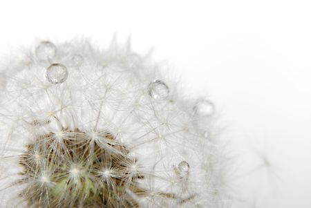isolated dandelion with drops on white. close-up