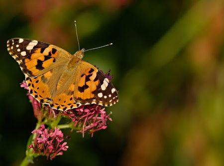 vanessa: beautiful butterfly Painted Lady (Vanessa cardui). macro