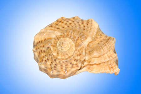 sea shell on blue background photo
