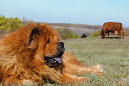 guard breed of dog chow-chow photo