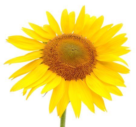 kwiat odizolowane sÅ'onecznika. charakter Zdjęcie Seryjne