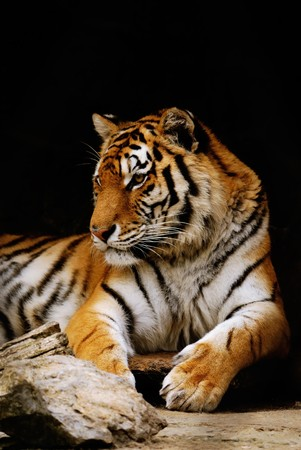 beauty orange striped tiger. close-up