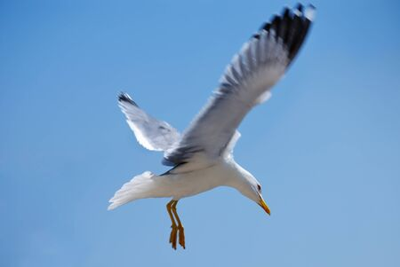 gaviota: Gaviota de aves de mar. portarretrato de naturaleza
