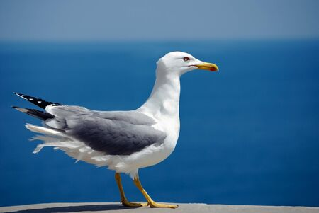 sea bird seagull. nature closeup Stock Photo - 7026822