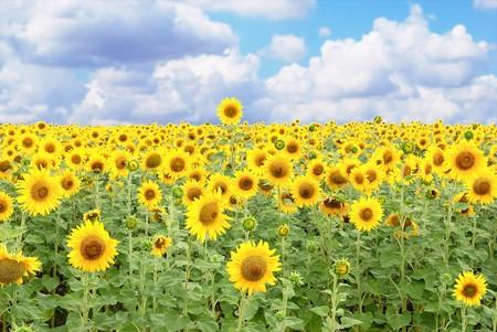 sunflowers field: yellow sunflower. summer nature close-up