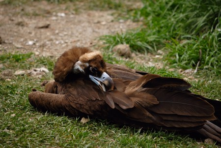 scavenging: scavenging bird vulture on grass Stock Photo