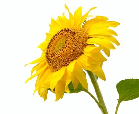 single isolated yellow sunflower. close-up Фото со стока