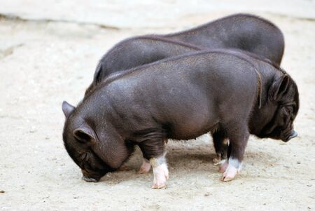 domestic animal: three black small pigs Stock Photo
