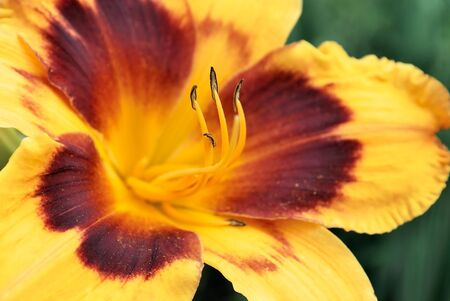 day lily: beautiful orange flower day lily