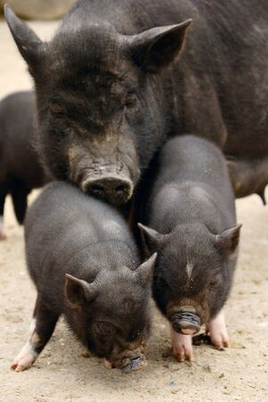 pig tails: two piglets with pig mum