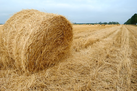 field after harvesting crops. autumn photo