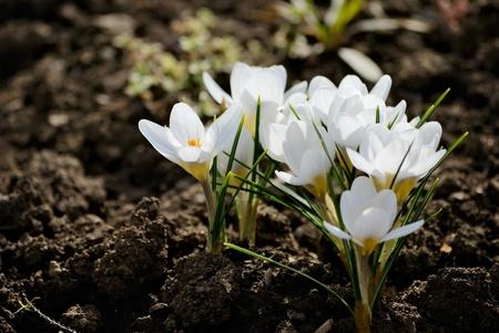 spring white crocus flower. nature photo