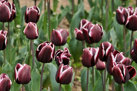 beautiful spring tulips in nature. Close up photo