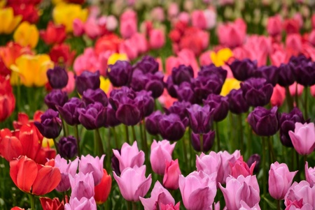 field of flowers: beautiful spring flower tulips. nature