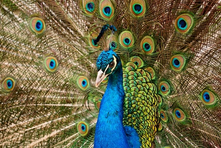 beautiful bird Blue Peafowl with open tail photo