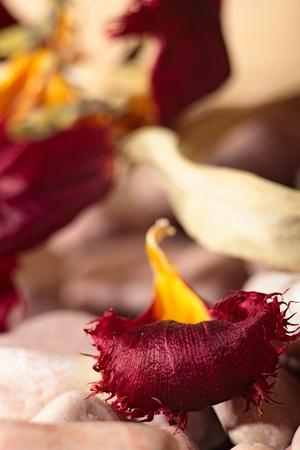 stillife: abstract stillife. dried red tulip