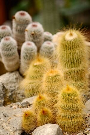 mescaline: green succulent cactus with yellow thorns