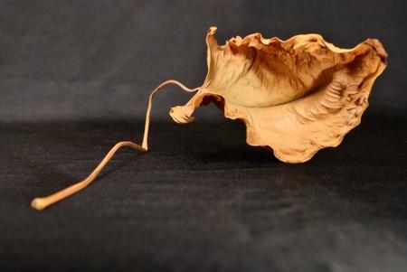 cramped: dry leaf on long stalk cramped. studio shot