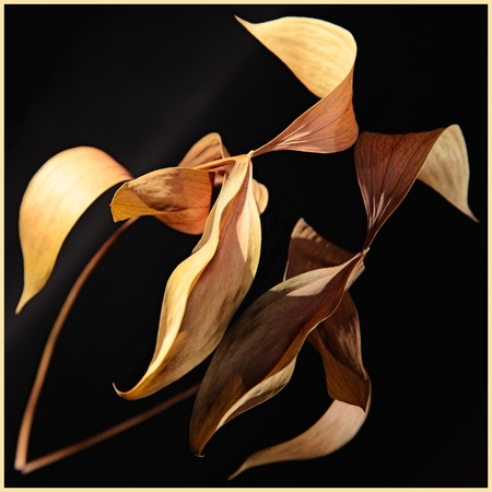 cramped: dry leaves on long cramped. studio shot