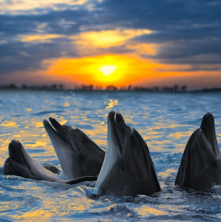The bottle-nosed dolphins in sunset light