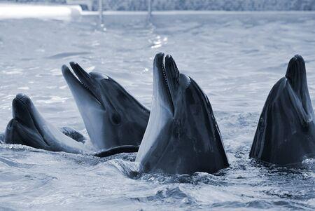 The bottle-nosed dolphins in aquarium. Closeup