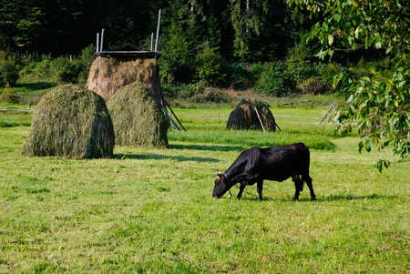cow grazing in meadow near stacks of hay photo