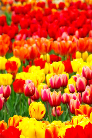 beautiful spring flower tulips. nature photo