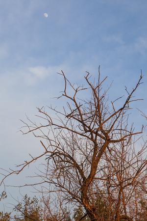 Dead and dry  tree and moon photo