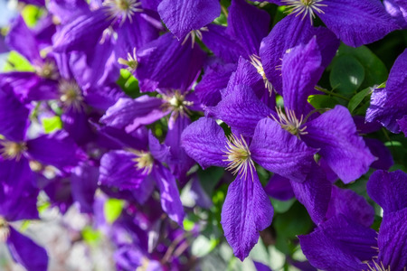 many flowers of purple clematis. closeup