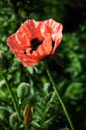 papaver: pink summer  flower papaver. outdoor shot Stock Photo