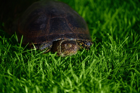 land turtle: turtle crawling on the grass