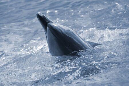 porpoise: The bottle-nosed dolphin in aquarium. Closeup