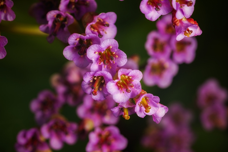 outdoor shot: spring flower bergenia. outdoor shot