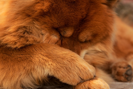 chow: Dog Chow paws closes face Stock Photo