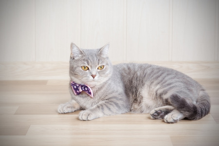 gray striped cat lies on the floor with a beautiful bow at the neck photo