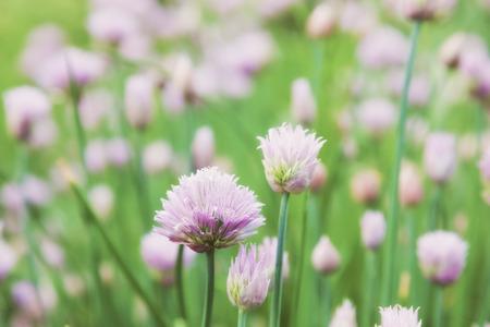 onion flowers: beautiful flowers decorative onion field. Allium schoenoprasum
