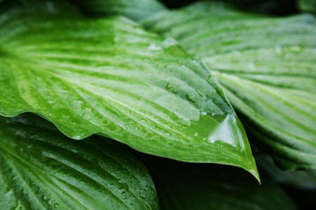 hosts: leaves of beautiful plant hosts with drops of rain.  Stock Photo