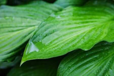 veining: leaves of beautiful plant hosts with drops of rain. background outdoors