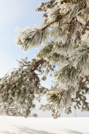 icy: icy branch pine outdoors. background Stock Photo