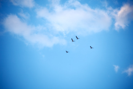 blue bird: flock of birds against the sky with clouds