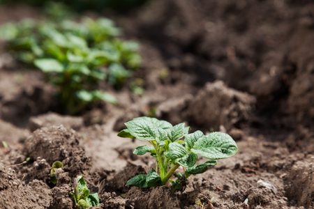 Young potato on soil cover. plant close-up Stockfoto