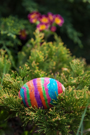 embellished: embellished striped easter egg hidden in the branches of Christmas trees on the background color. Close-up, outdoors Stock Photo
