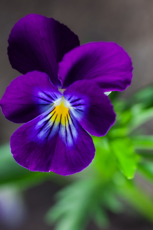 outdoor shot: pansy spring flower. outdoor shot Stock Photo