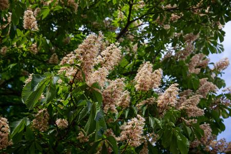 chestnut tree: chestnut tree in blossom. nature