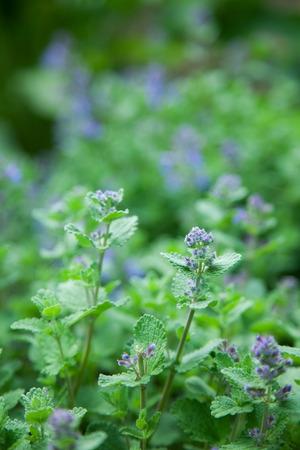 catnip: herb mint catnip. nature
