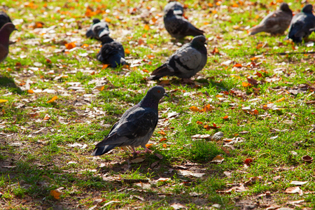 beautiful blue-gray doves on autumn meadow